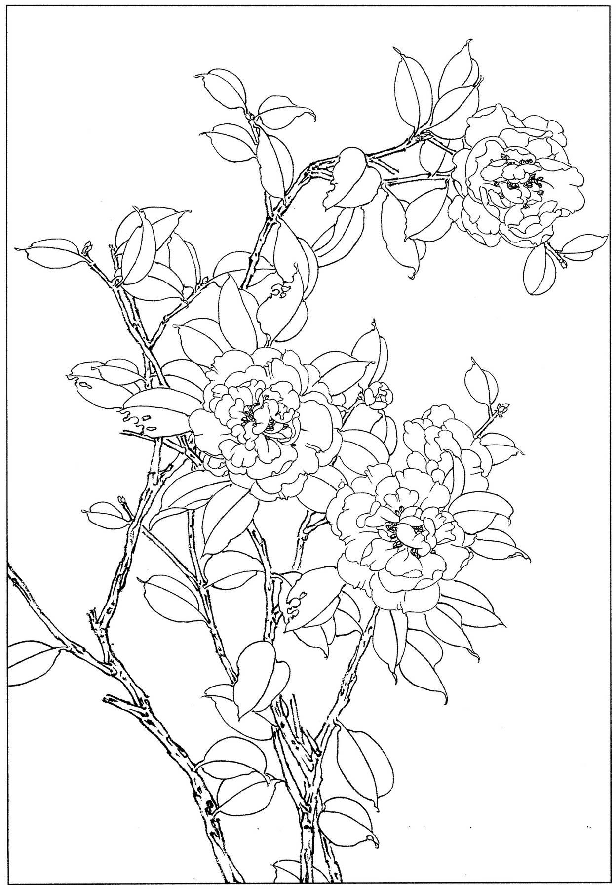 []0046_工笔画茶花白描线稿素材高清图_0x0px_jpg_600dpi_3真迹扫描